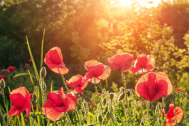 Fleurs de pavots dans le domaine en soleil de rayons sur la fin de coucher du soleil  Rétro type paysage rural fantastique à la l photographie stock libre de droits