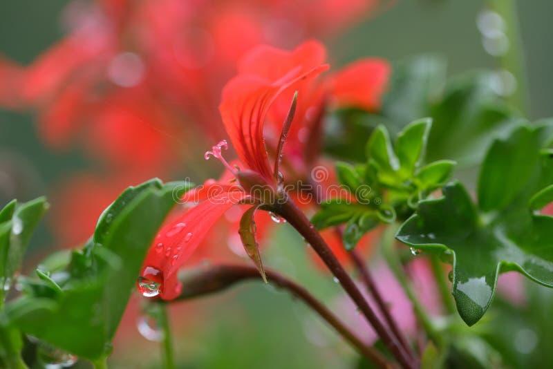 Fleurs de Pelarginium avec la rosée image stock