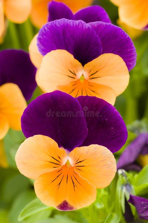 Fleurs de pensée photo stock