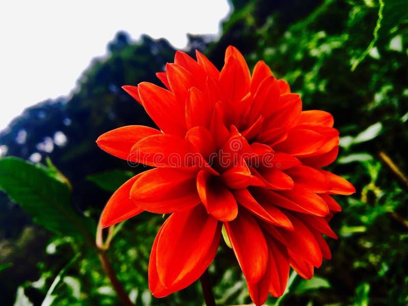Fleurs de Peradeniya image stock
