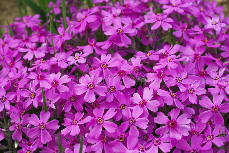 Fleurs de Phlox photo stock