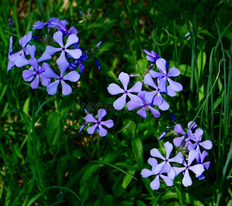 Fleurs de phlox de rampement photos stock