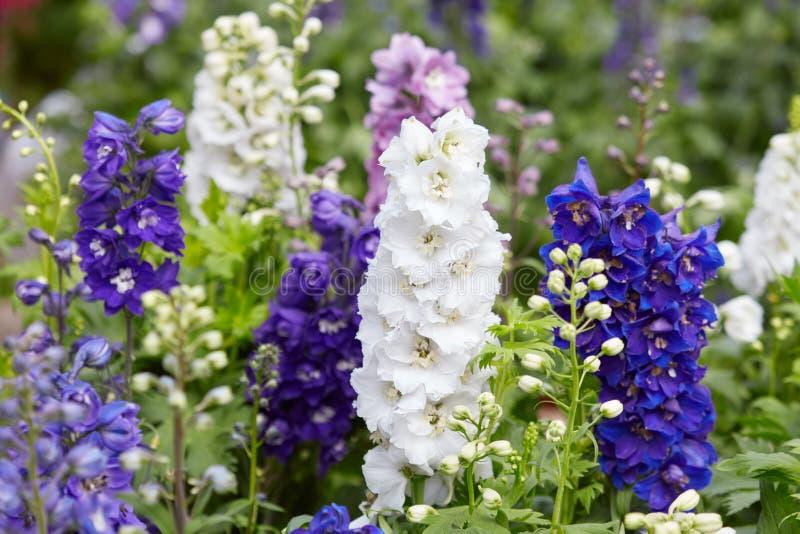 Fleurs de pied-d'alouette, elatum de delphinium image libre de droits