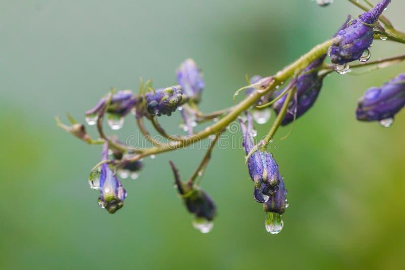 Fleurs de pied-d'alouette, elatum de delphinium photographie stock