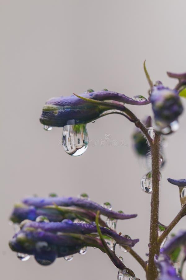 Fleurs de pied-d'alouette, elatum de delphinium photos libres de droits