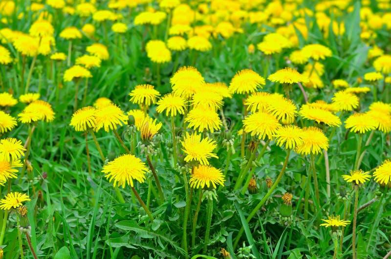 Fleurs de pissenlit sur un pré image stock