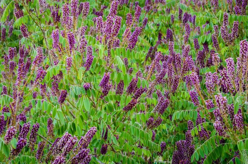 Fleurs de plan rapproché de l'acacia rose de floraison connu sous le nom de Robinia Viscosa images stock