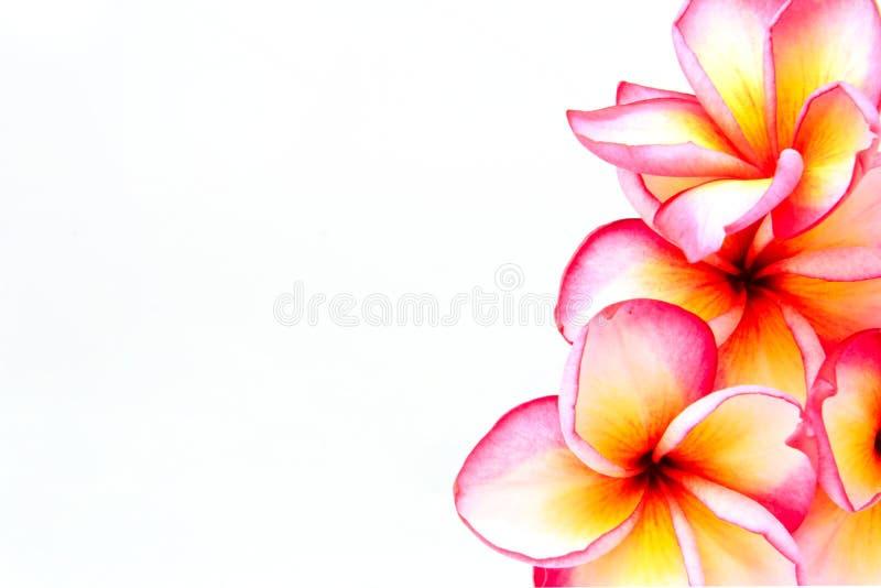 Fleurs de Plumeria d'isolement photos stock