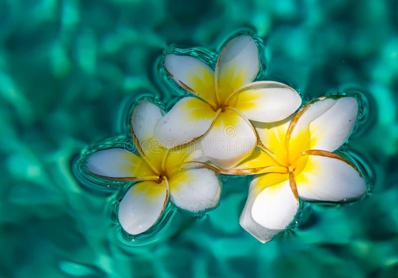 Fleurs de Plumeria dans la piscine image stock