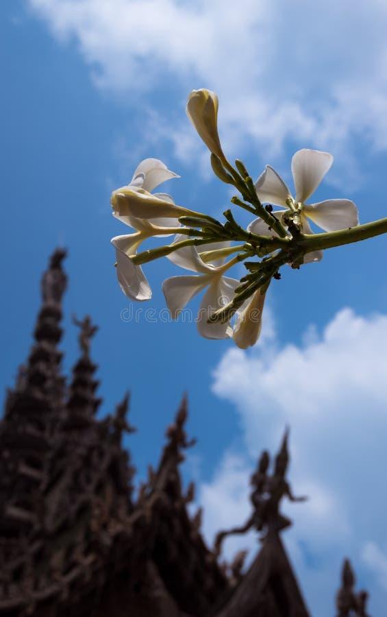 Fleurs de Plumeria de Frangipani et le sanctuaire du temple de vérité à Pattaya, Thaïlande image stock