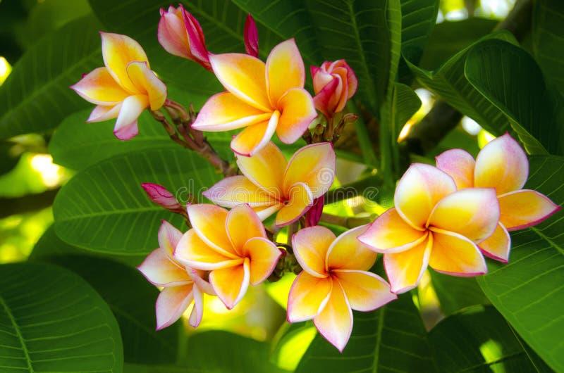 Fleurs de Plumeria (Frangipani) images stock