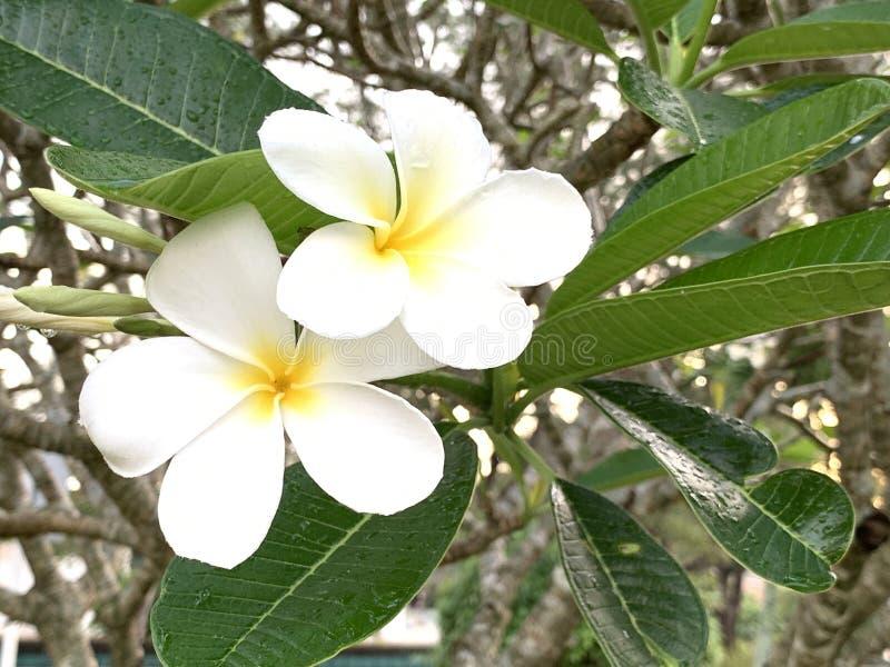 Fleurs de Plumeria pendant le matin photographie stock libre de droits
