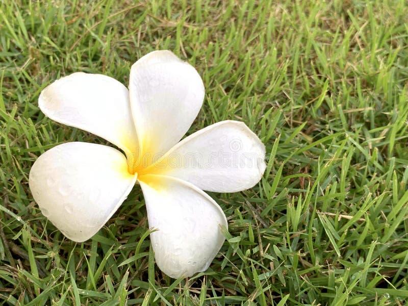 Fleurs de Plumeria pendant le matin images libres de droits