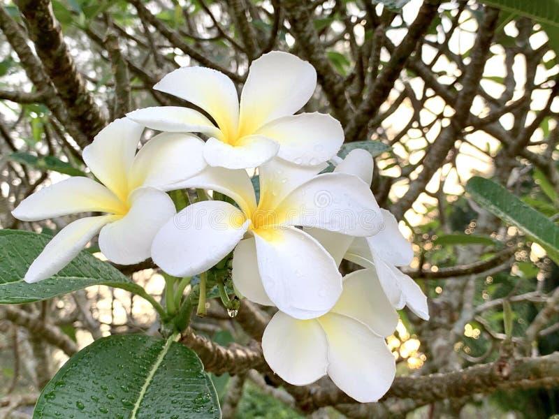 Fleurs de Plumeria pendant le matin photos stock