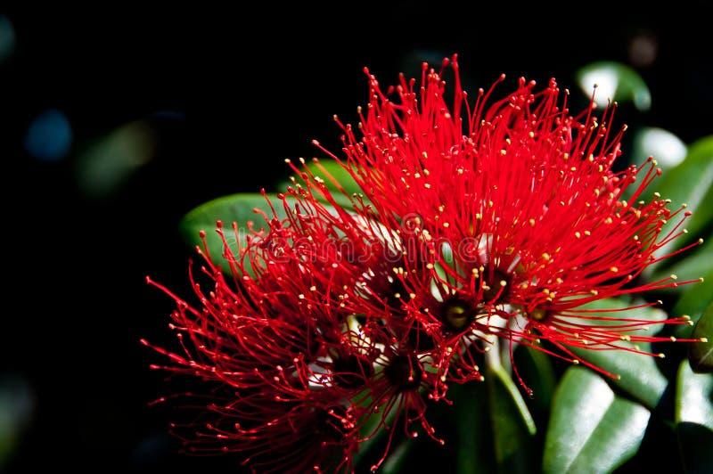 Fleurs de Pohutakawa photographie stock libre de droits