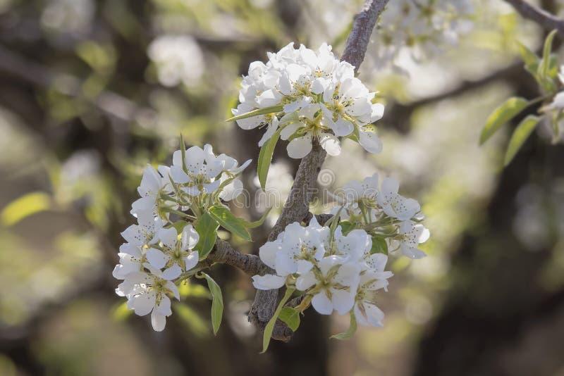 Fleurs de poirier au printemps photos stock