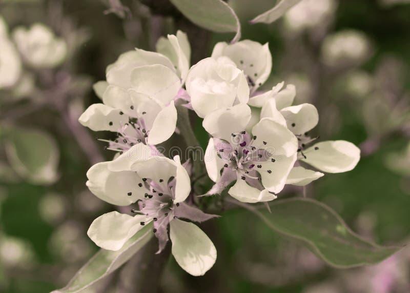 Fleurs de poirier dans le printemps images libres de droits
