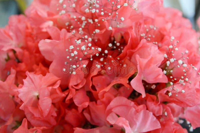 Fleurs de pois doux Été photos stock