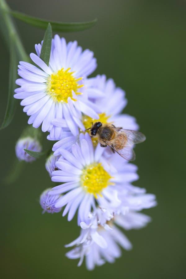 Fleurs de pollination d'abeille images stock