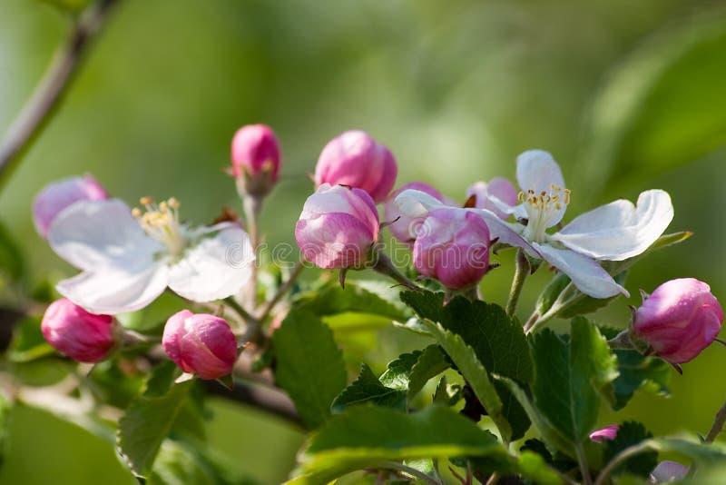 Fleurs de pomme de source de Makro dans un jardin images libres de droits