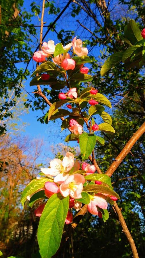 Fleurs de pomme sauvage photo stock
