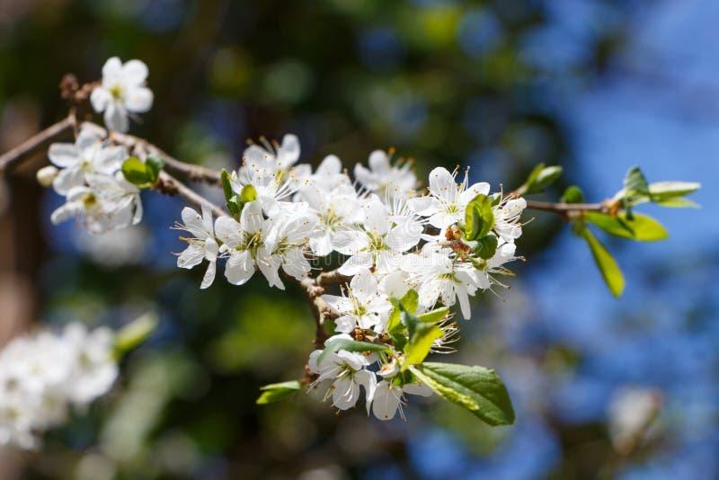 Fleurs de pommier image stock