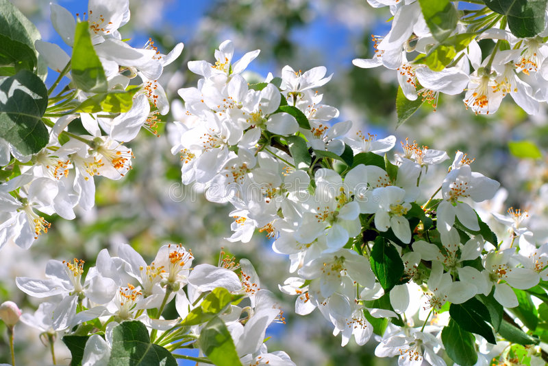 Fleurs de pommier image libre de droits