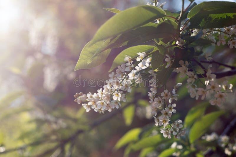 Fleurs de pommier photographie stock libre de droits