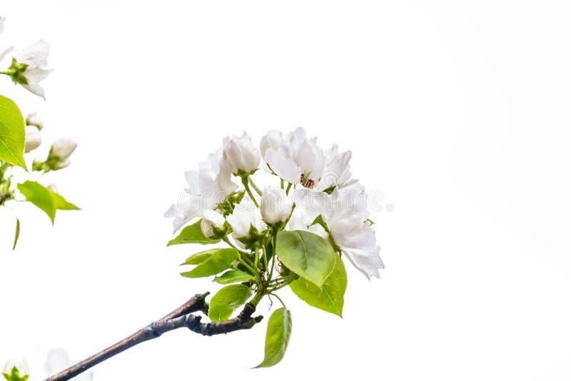Fleurs de pommier d'isolement sur le fond blanc Concept de renouvellement de ressort image libre de droits