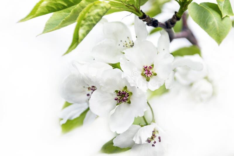 Fleurs de pommier d'isolement sur le fond blanc Concept de renouvellement de ressort photographie stock