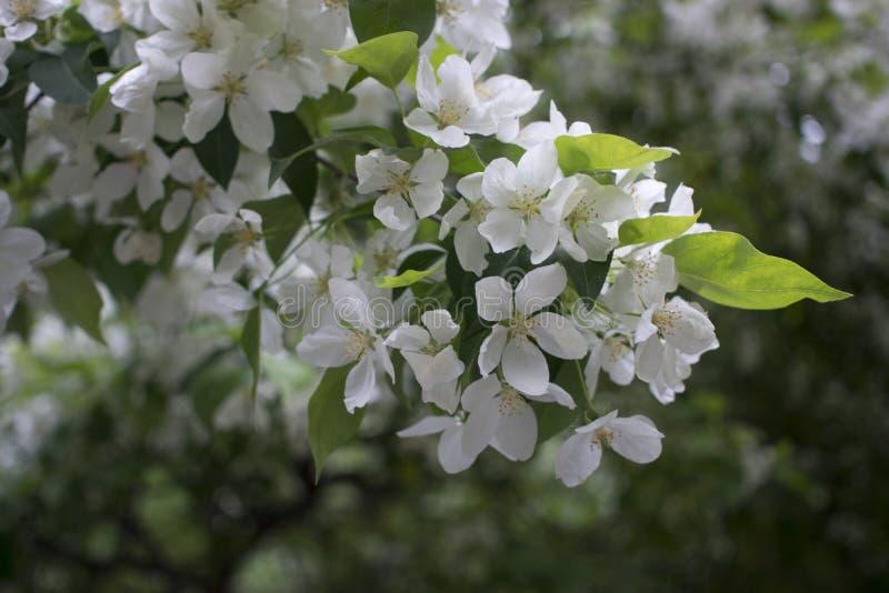 Fleurs de pommiers la pièce de graine-incidence d'une usine, se composant des organes reproducteurs qui sont typiquement entourés photographie stock libre de droits