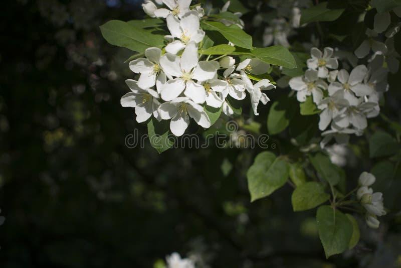 Fleurs de pommiers la pièce de graine-incidence d'une usine, se composant des organes reproducteurs qui sont typiquement entourés photo stock