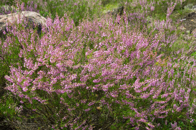 Fleurs de pourpre de Heather photo libre de droits