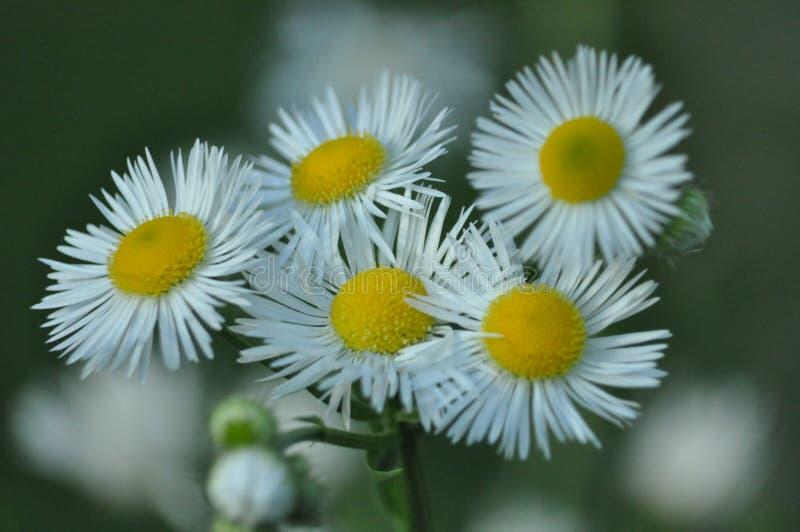Fleurs de pré photographie stock libre de droits