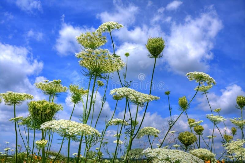 Fleurs de prairie contre le ciel bleu photographie stock libre de droits