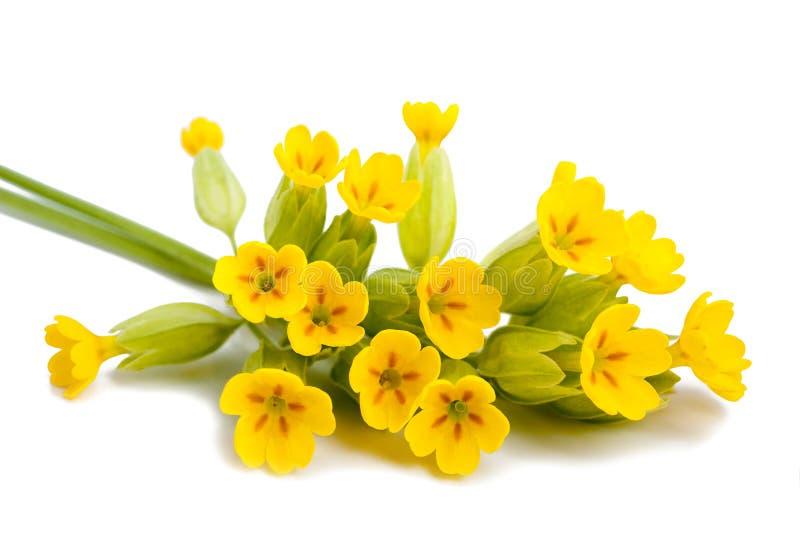 Fleurs de primevère image stock