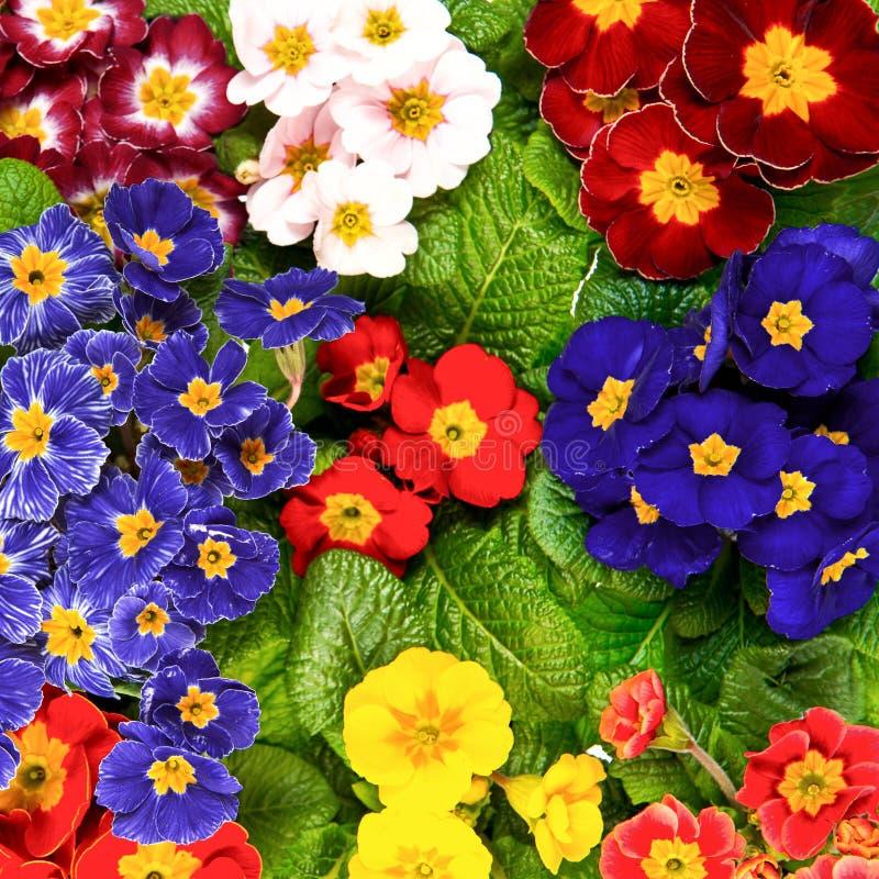 Fleurs de primevère de ressort Primrosess colorés images libres de droits