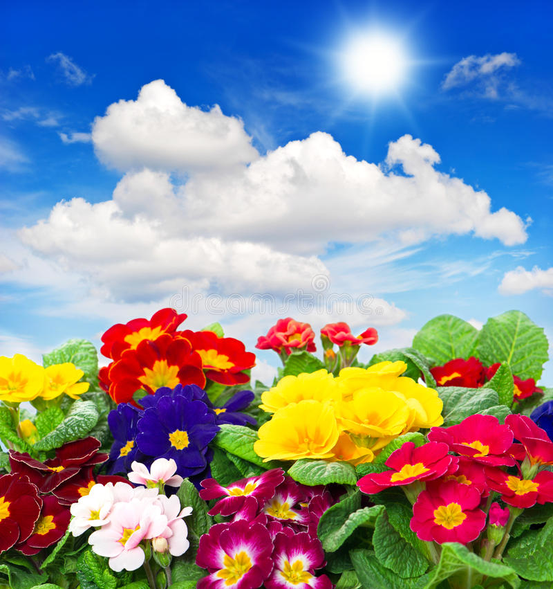 Fleurs de primevère sur le fond de ciel bleu photographie stock libre de droits