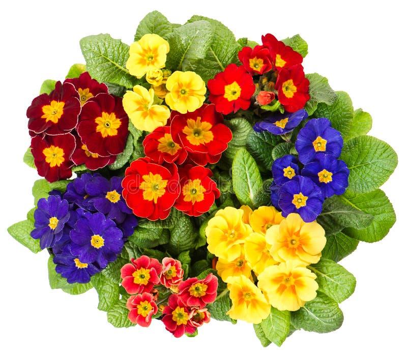 Fleurs de primula de Multocolor d'isolement sur le blanc photo libre de droits