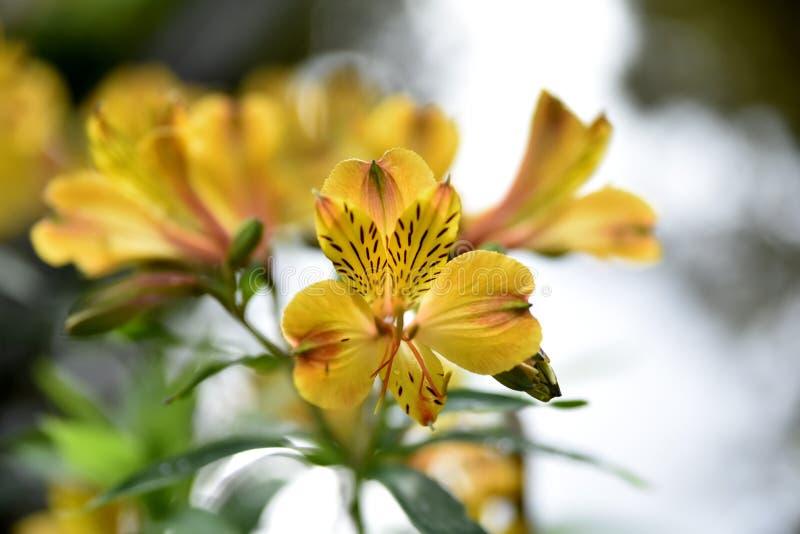 Fleurs de proximité dans le jardin, ville de Baguio, Philippines photographie stock
