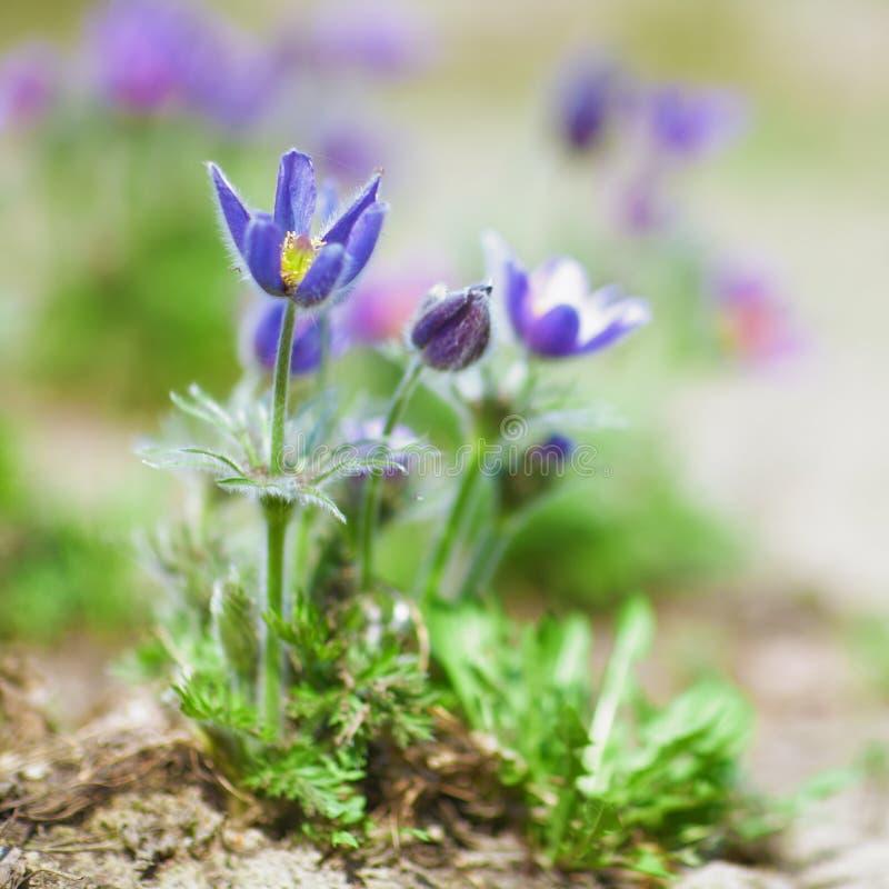 Fleurs de Pulsatilla images libres de droits