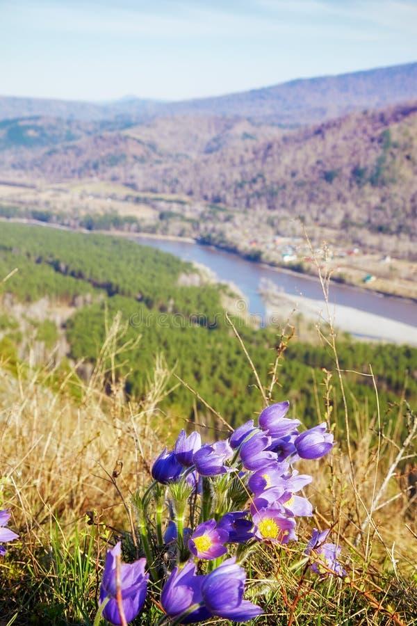 Fleurs de Pulsatilla dans le landskape de montagnes d'Altay image stock