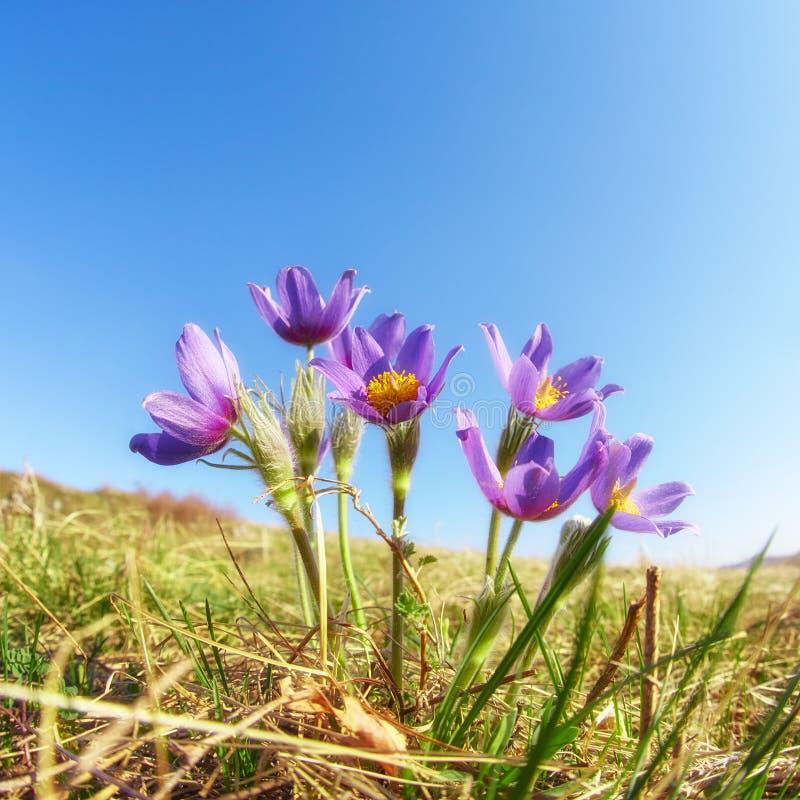 Fleurs de Pulsatilla sur le fond de ciel bleu photographie stock libre de droits
