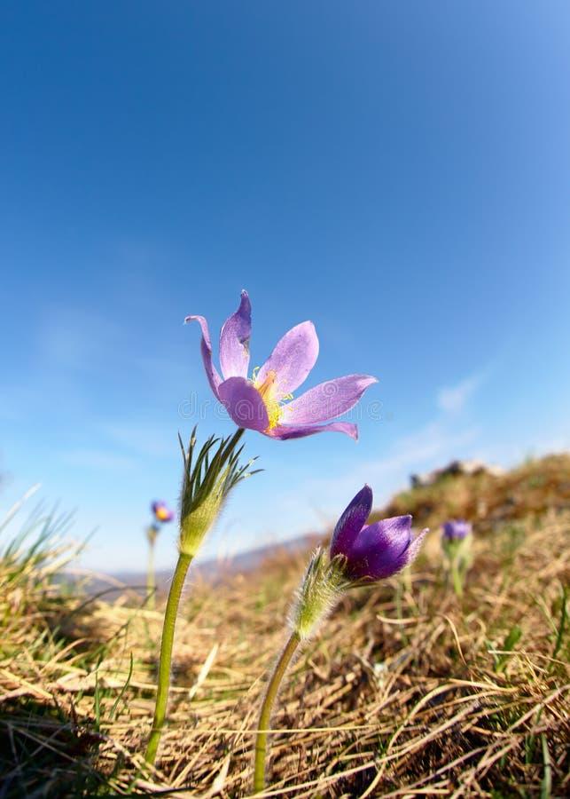 Fleurs de Pulsatilla sur le fond de ciel bleu photographie stock