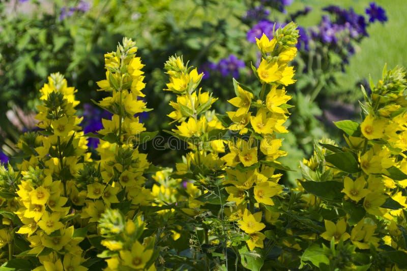 Fleurs de punctata de Lysimachia la salicaire pointillée, grande salicaire jaune, ou salicaire repérée photographie stock libre de droits