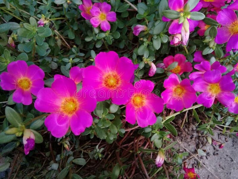 Fleurs de Purples de roses images libres de droits