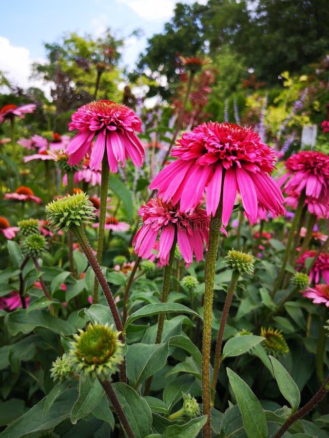 Fleurs de purpurea d'Echinacea dans le jardin Gerbera rose photos stock