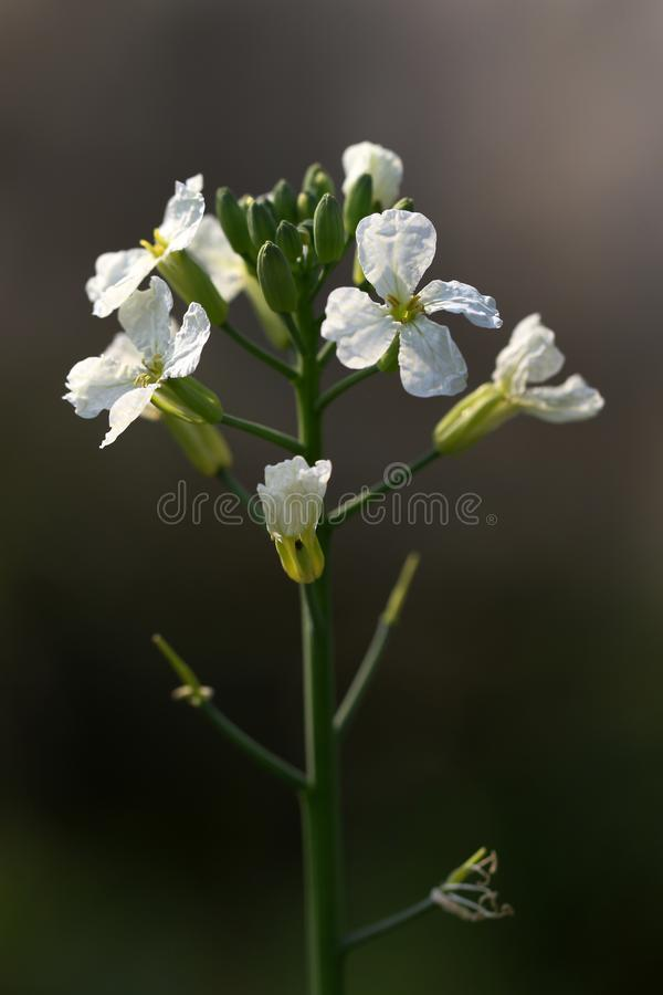 Fleurs de radis photographie stock libre de droits