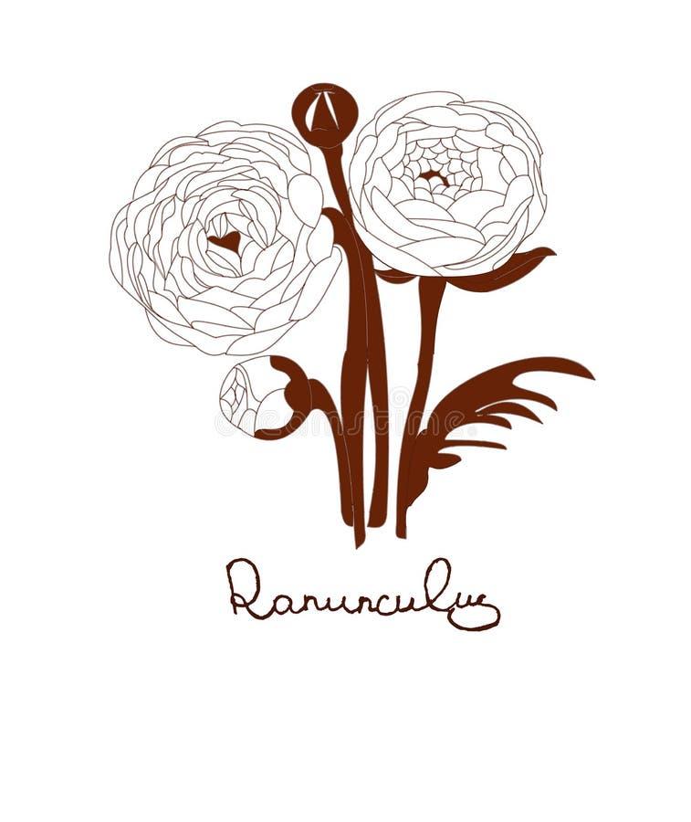Fleurs de Ranunculus image stock