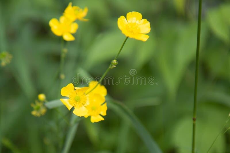 Fleurs de renoncule en été photo stock
